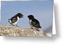 Little Auk Pair Spitsbergen Norway Greeting Card