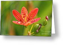 Little Blackberry Lilly Greeting Card