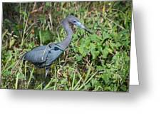 Little Blue Heron 2 Greeting Card