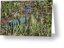 Little Blue Heron 3 Greeting Card