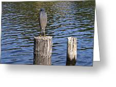 Little Blue Heron - Egretta Caerulea  Greeting Card