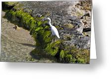 Little Blue Heron - Egretta Caerulea - White Morph Greeting Card