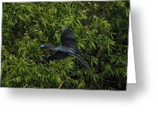 Little Blue Heron In Flight Greeting Card