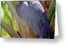 Little Blue Heron Male In Breeding Greeting Card