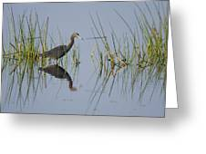 Little Blue Heron Wading Texas Greeting Card