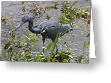 Little Blue Heron - Waiting For Prey Greeting Card