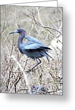 Little Blue In Rookery Louisiana Greeting Card
