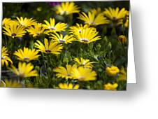 Little Field Of Yellow Daises Greeting Card
