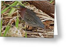 Little Green Heron Greeting Card