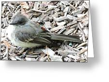 Little Junco Greeting Card