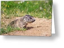 Little Marmot Greeting Card