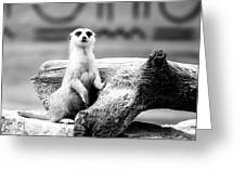 Little Meerkat Greeting Card