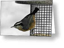 Little Nuthatch Greeting Card