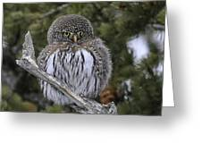 Little One - Northern Pygmy Owl Greeting Card