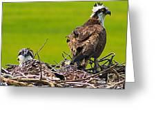 Little Osprey Greeting Card