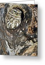 Little Owl 3 Greeting Card
