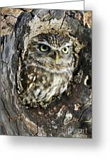 Little Owl 6 Greeting Card