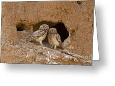 Little Owl Athene Noctua  Greeting Card
