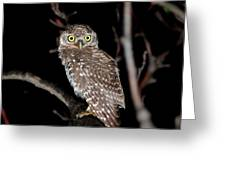 Little Owl Or Spotted Owlet Greeting Card