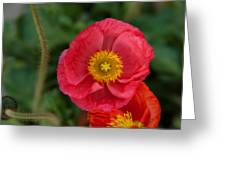 Little Pink Iceland Poppy Greeting Card