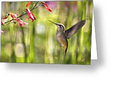 Little Queenie-calliope Hummer Greeting Card