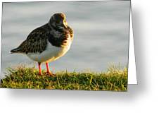 Little Turnstone Greeting Card by Sharon Lisa Clarke