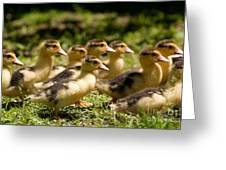 Yellow Muscovy Duck Ducklings Running Fast  Greeting Card