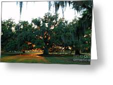 Live Oak Bathed In Evening Light Greeting Card