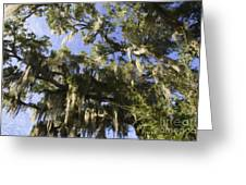 Live Oak Dripping With Spanish Moss Greeting Card