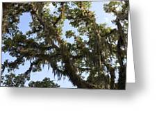 Live Oak Tree With Moss Greeting Card