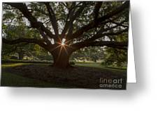 Live Oak With Early Morning Light Greeting Card
