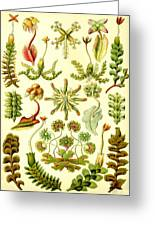 Liverworts Moss Brunnenlebermoos Haeckel Hepaticae Greeting Card