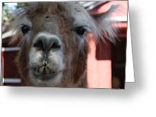 Llama After A Rough Night Greeting Card
