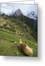 Llama At Machu Picchu Greeting Card