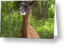 Llama Costello Waiting For Sunflowers Greeting Card