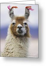 Llama In Bolivia Greeting Card