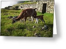 Llama Ya Mama Greeting Card