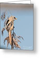 ln06 Bearded Reedling Juvenile Greeting Card