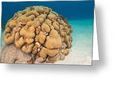 Lobed Star Coral Greeting Card