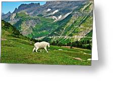 Logan Pass Mountain Goat Greeting Card