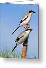 Loggerhead Shrike Pair Greeting Card