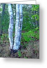 Lone Birch In The Maine Woods Greeting Card