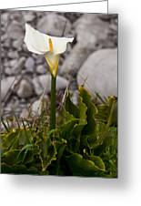 Lone Calla Lily Greeting Card