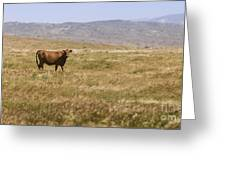 Lone Cow In Grassy Field Greeting Card