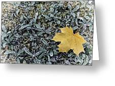 Lonely Maple Leaf And Grass Are Covered With Frost. Greeting Card