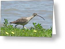 Long Billed Curlew At Palacios Bay Tx Greeting Card