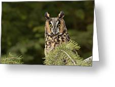 Long-eared Owl, Asio Otus (captive Greeting Card