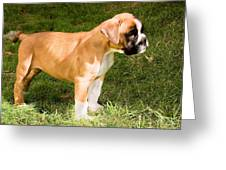 long tailed Boxer Puppy in the sun Greeting Card