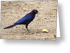 Long Tailed Glossy Starling  Greeting Card