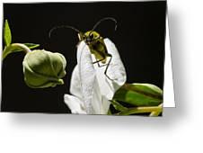 Longhorn Beetle Feeding Greeting Card